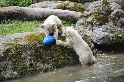 Polar Bears, Polar Bear Cubs, Polar Bears In The Water