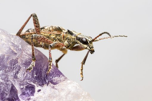 Blackspotted Pliers Support Beetle, Rhagium Mordax