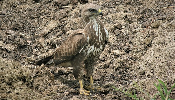 Steppe Buzzard, Standing, Sharp Beak