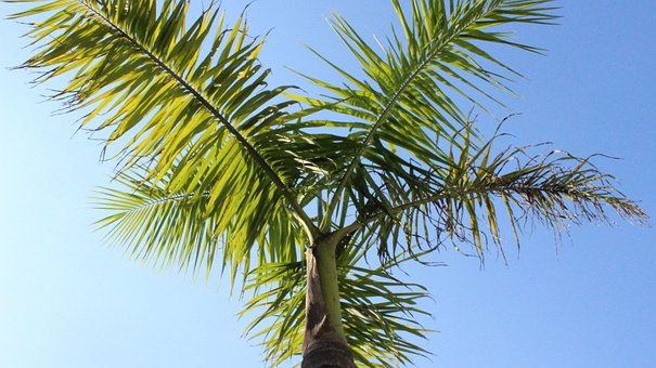 Coconut Tree, Nature, Sky, Tropical, Palm, Leaf, Green