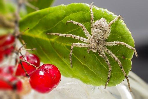 Lichen, Running, Spider, Philodromus, Margaritatus