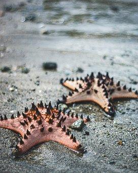 Starfish, Philippine Starfish, Ocean, Beach, Subic