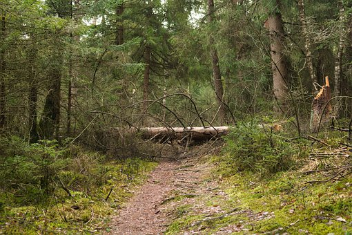 Storm, Log, Forest, Forest Path, Path, Trees, Firs