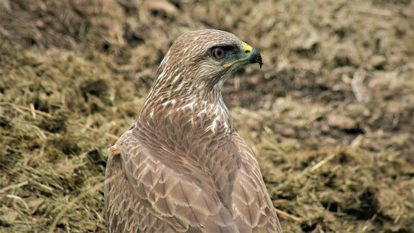 Steppe Buzzard, Sharp Beak, Nature, Bird, Watching