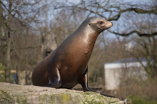 Seerobbe, Robbe, Zoo, Mammal, Water Creature