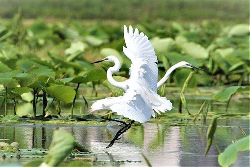 Egret, Pair, Love, Water, Lake, The Lotus Leaf