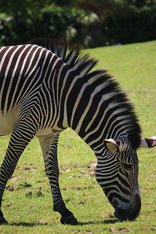 Zebras, Zoo, Zebra, Stripes, Animal, Head