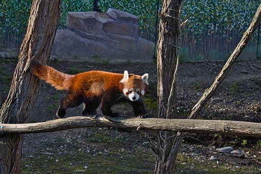 A Small Red Panda, Zoo, Red Panda, Mammal, Panda
