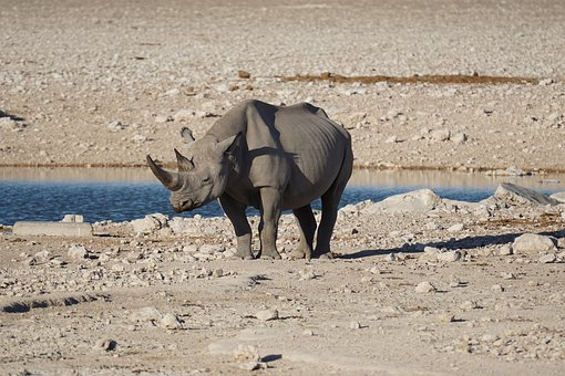 Rhino, Big Five, Nature, Animal, Wildlife, Namibia