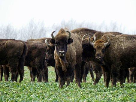 Bison, Bison Bonasus, Poland, Animals, Nature, Forest