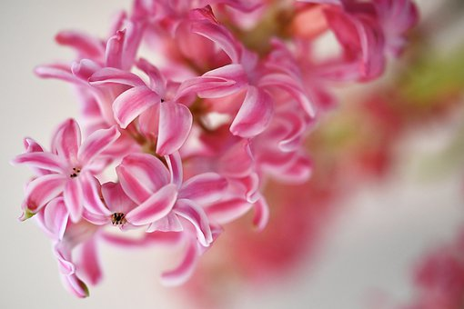 Hyacinth, Flower, Blossom, Bloom