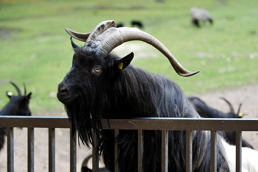 Billy Goat, Goat, Bock, Horns, Goatee, Fence, Zoo