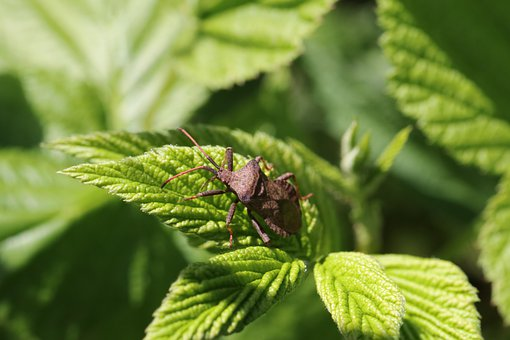 Bug, Raspberry, Pest, Insect, Garden, Vegetable Garden