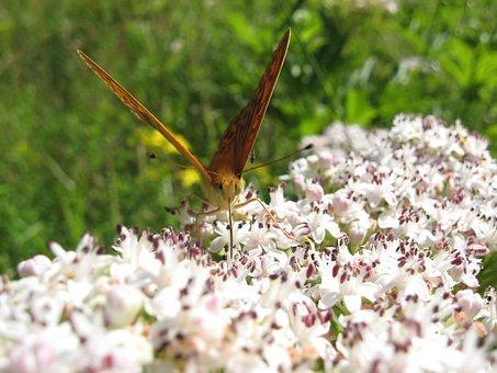 Butterfly, Walk Elderberry, Meadow, Sívó Fiber, Nectar