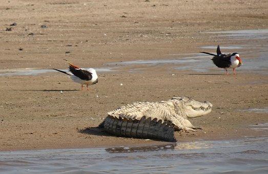 Mugger Crocodile, Crocodylus Palustris, Chambal River