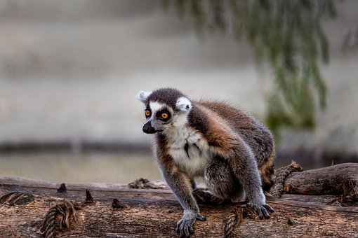 Lemur, Monkey, Cute, Animal, Madagascar, Mammal