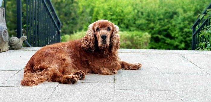 Dog, Cocker Spaniel, Sweet, Brown