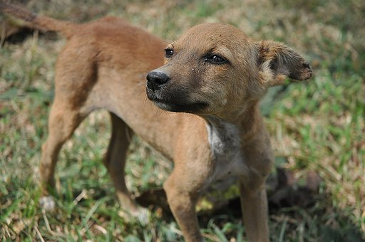 Stray Dog, Dog, Cute, Puppy, Stray Puppy, Sri Lanka