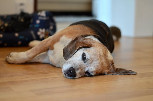 Beagle, Dog, Sleeping, Animal, Friend, Adorable