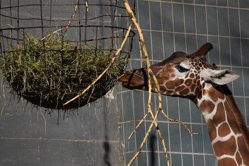 Giraffe, Eat, Feeding, Mammal, Animal World, Animal