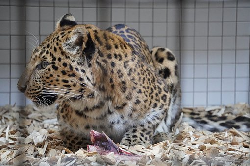 Leopard, Zoo, Enclosure, Eat, Feeding, Animal, Cat