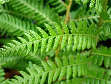 Fern, Leaves, Fronds, Green, Tree Fern, Foliage, Garden