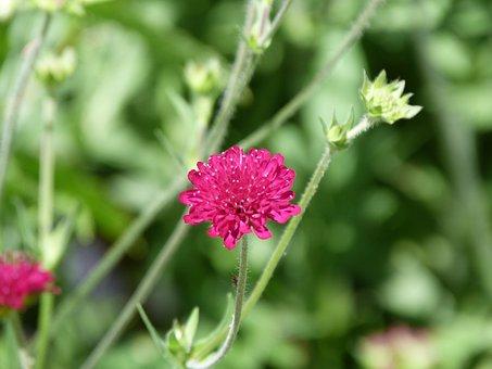 Nature, Flower, Summer, Purple, Astrantia, Garden
