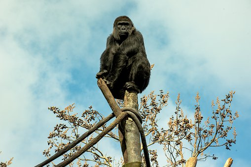 Gorilla, Zoo, Monkey, Animal, Ape, Primate, Nature