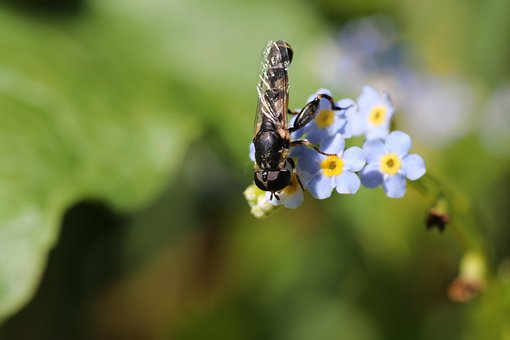 Fly, Forget-Me-Not, Little, Macro