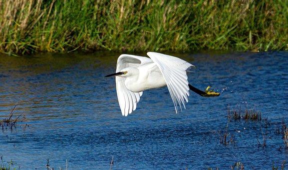 Egret, Bird, Wings, Flight, Nature, Freedom, Wild