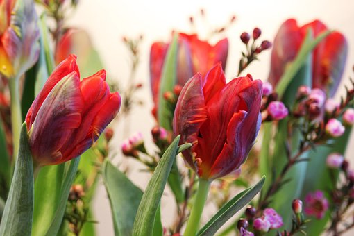 Tulips, Parrot Tulips, Spring, Nature, Bloom