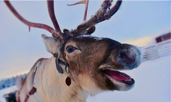 Animal, Nature, Snapshot, Wild, Reindeer, Sami, Winter