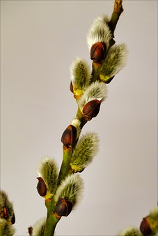 The Basis Of, Tree, Willow, Spring, Closeup, Sprig
