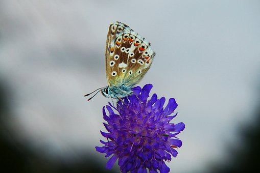Blue Korydon, Tom, Insect, Butterfly Day, Flower, Posts