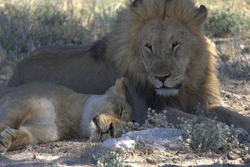 Lion, Big Five, Nature, Namibia, Wildlife