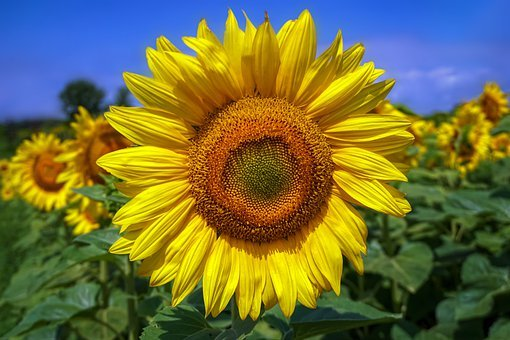 Sunflowers, Flowers, Bloom, Yellow, Summer, Blossom