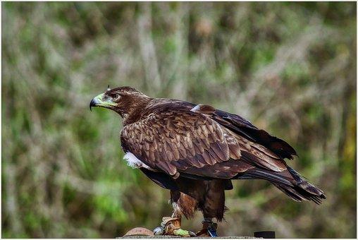 Bird Of Prey, Adler, Raptor, Attention