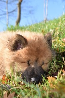 Dog, Dog Eurasier, Puppy Sleep, Adorable, Doggie