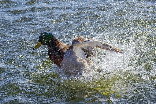 Water, Bird, Nature, Animal, Duck, Mallard Duck