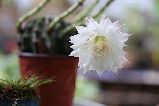 Prickly Pear Flower, White, Blur, Backlighting