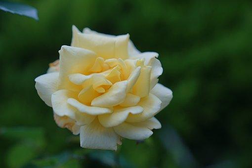 Flower, Blooms, Blooming, Bloom, Rose, Rubella, Pink