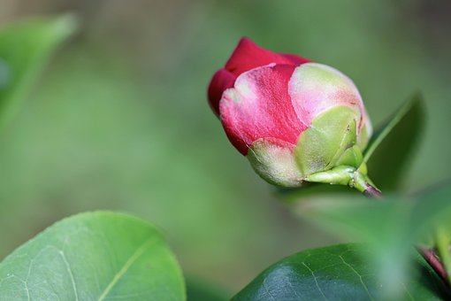 Camellia, Camellia Bud, Bud, Red