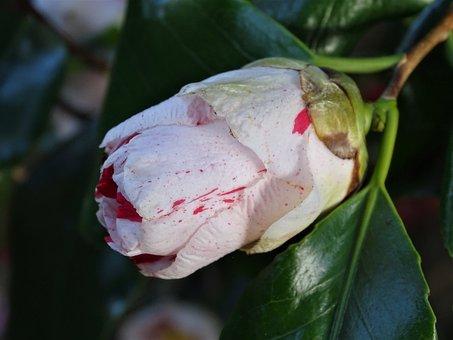 Outbreak, Camellia, Flower, Garden