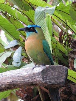 Bird, Mat Mat, Nature, Animal, Costa Rica