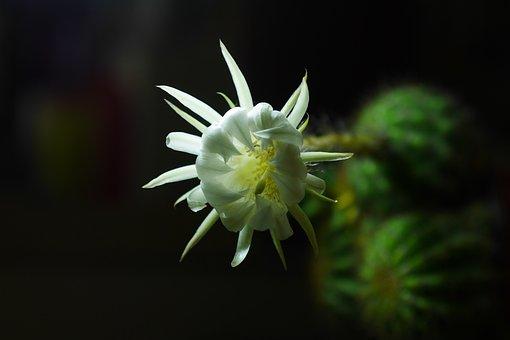 Prickly Pear Flower, White, Dark Background