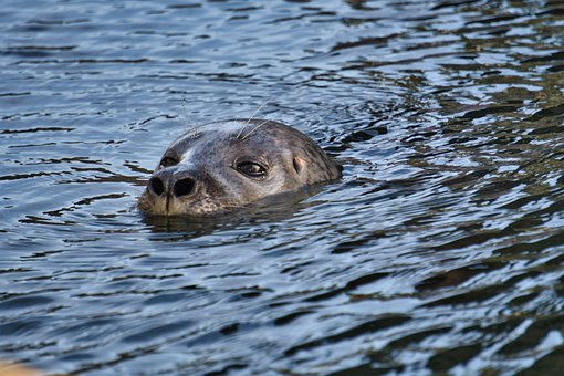 Seal, Water, Diving, Eyes, Nose, Meeresbewohner, Swim