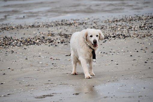 Dog, Dog Golden Retriever, Dog Portrait, White Fur