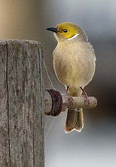 White-plumed, Honeyeater, Bird, Feathers, Perch, Post