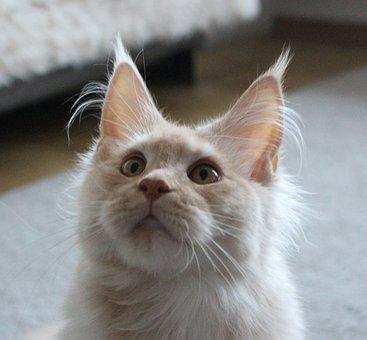 Mainkan, Mejnkun, Cat, Animals, Animal, Fur, Kitten