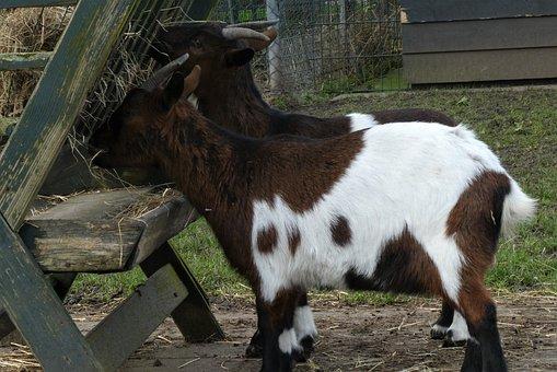 Goats, Goat, Food, Petting, Animal World
